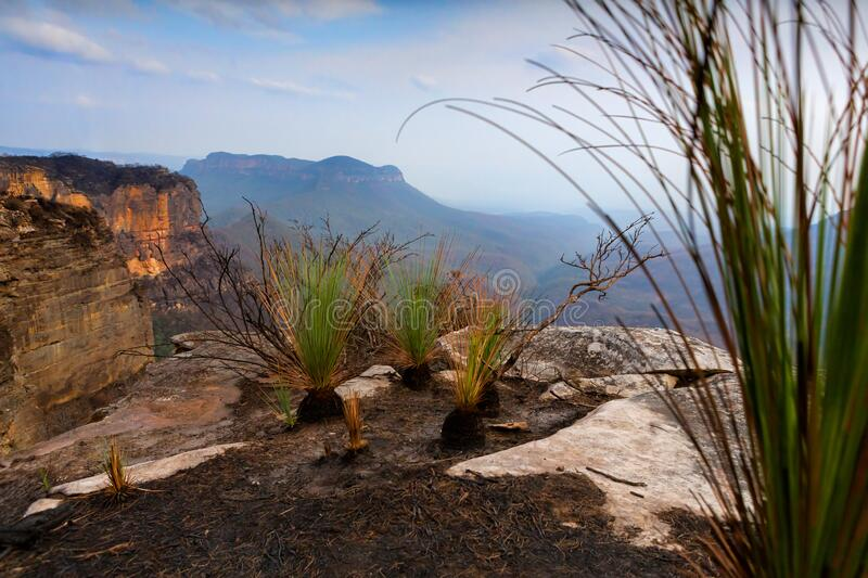 Fire resistant grass trees dominate the burnt plateau Blue Mountains. Fire resistant grass trees dominate the burnt plateau overlooking the Kedumba valley in royalty free stock photos
