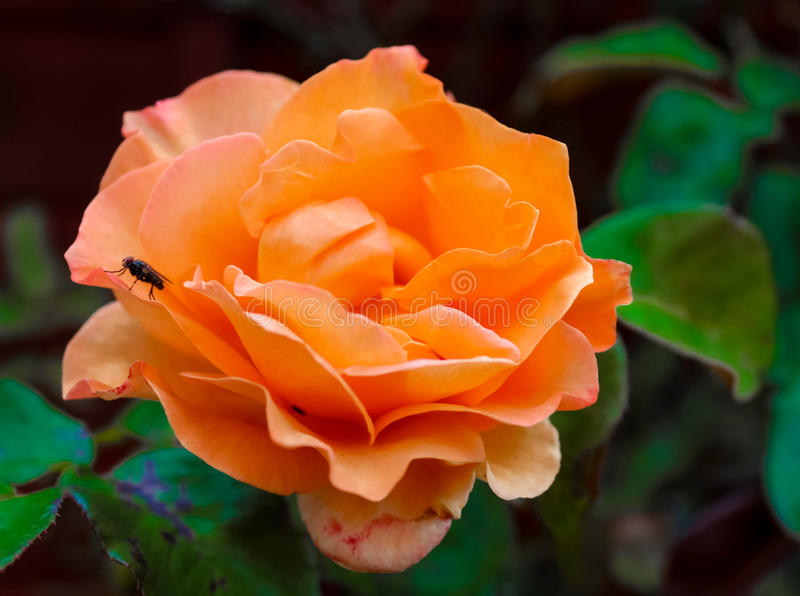 Fire rose and fly royalty free stock image