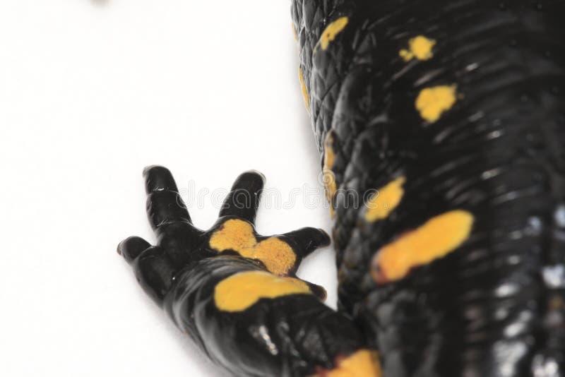 Download Fire Salamander Leg Stock Photo - Image: 12860740