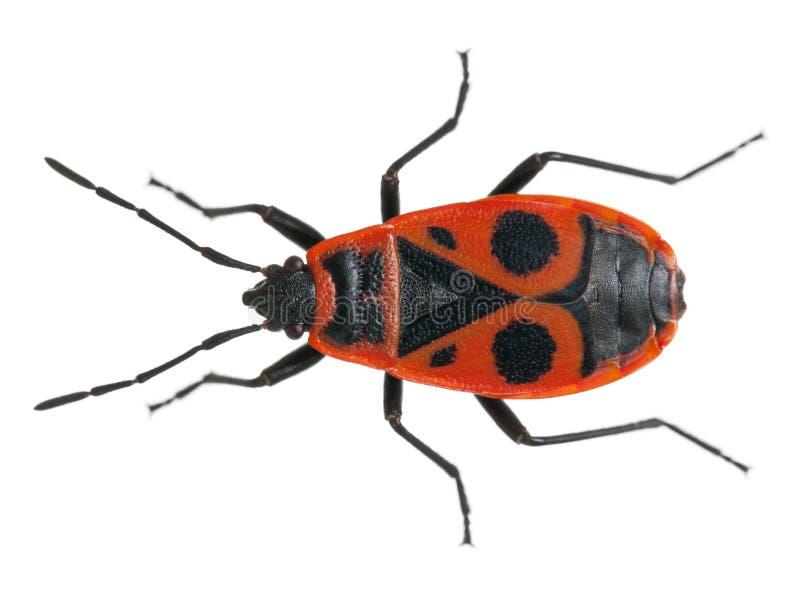 Firebug, apterus Pyrrhocoris stock afbeeldingen