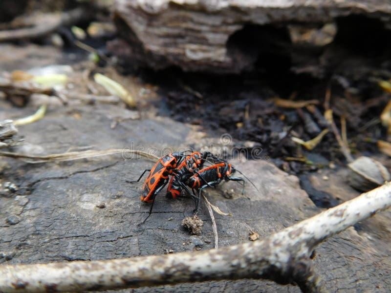 Firebug walka obraz stock