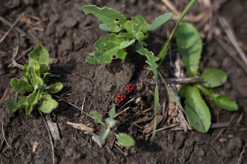 Firebugs na ziemi między zielonymi roślinami obraz royalty free