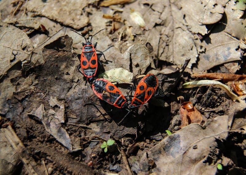 Firebugs Pyrrhocoris Apterus zdjęcia stock