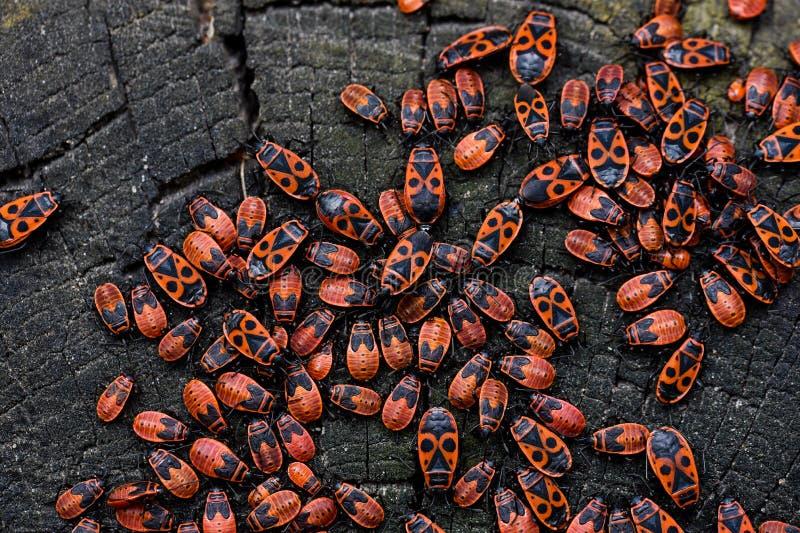 Firebugs, Pyrrhocoris apterus obrazy royalty free
