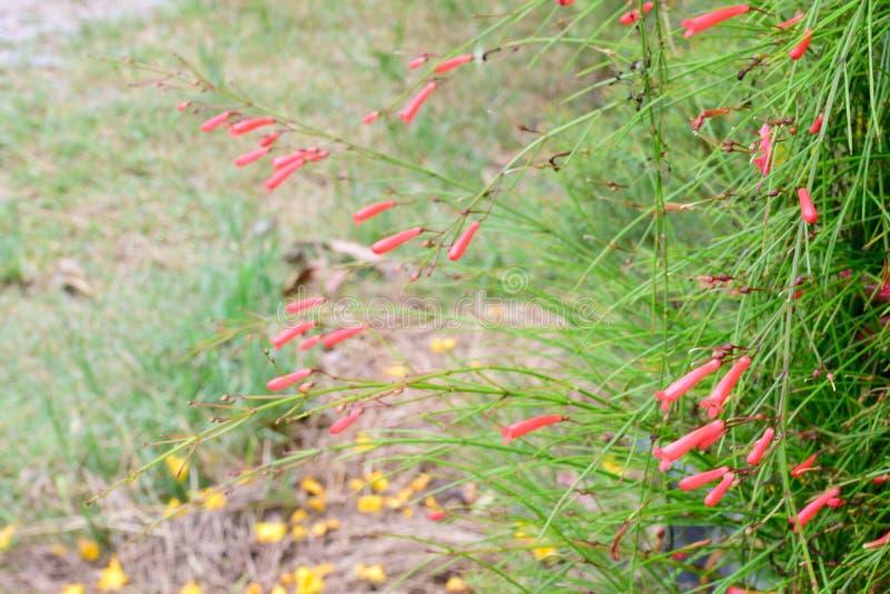 Firecracker flower. Firecracker flower are red and odd royalty free stock image