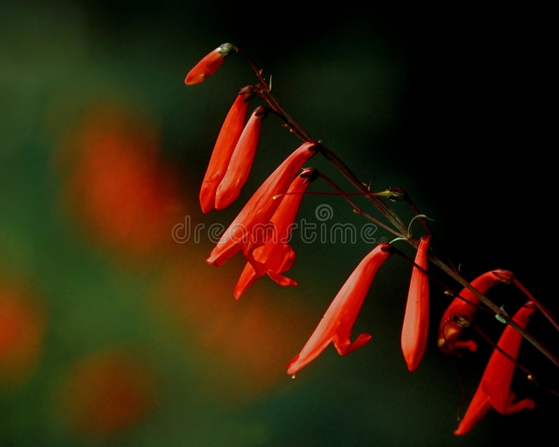 Download Firecracker penstamon stock image. Image of dangling, floral - 4315