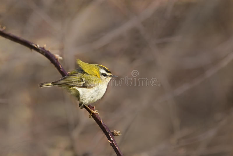 Firecrest on bramble stock image