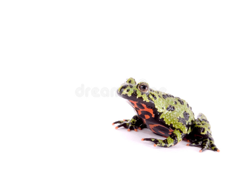 Download Fired Bellied Frog Royalty Free Stock Image - Image: 1423976