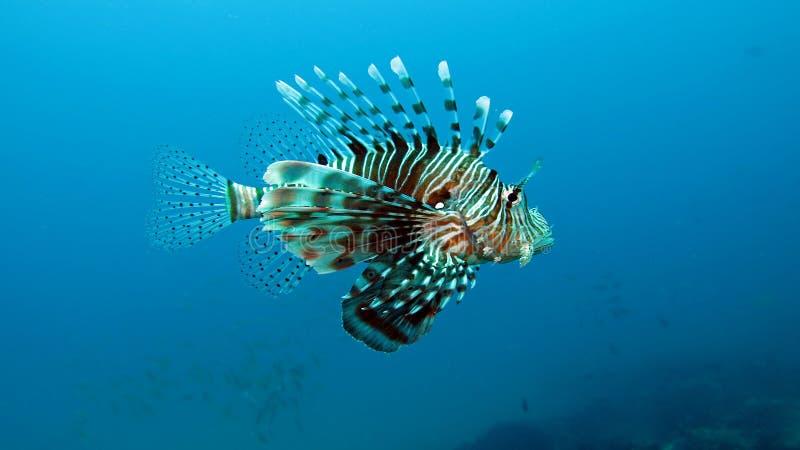 Firefish del diablo imagen de archivo