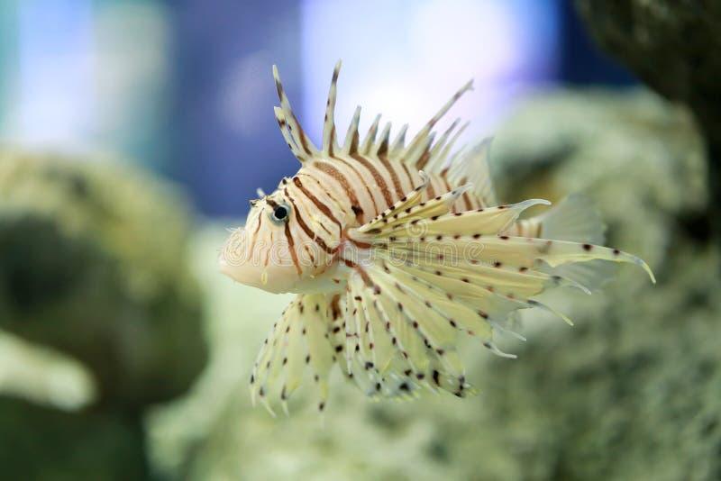 Firefish ou Lionfish que tropical do diabo a terra comum do nome está nadando fotos de stock royalty free