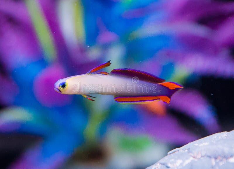 Firefish púrpuras fotos de archivo libres de regalías