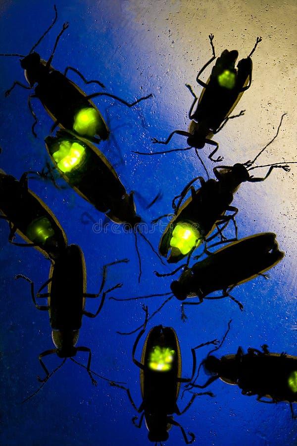 Fireflies που λάμπει τη νύχτα - αυτός ο κάνθαρος είναι επίσης γνωστός ως ζωύφιο αστραπής στοκ εικόνα με δικαίωμα ελεύθερης χρήσης