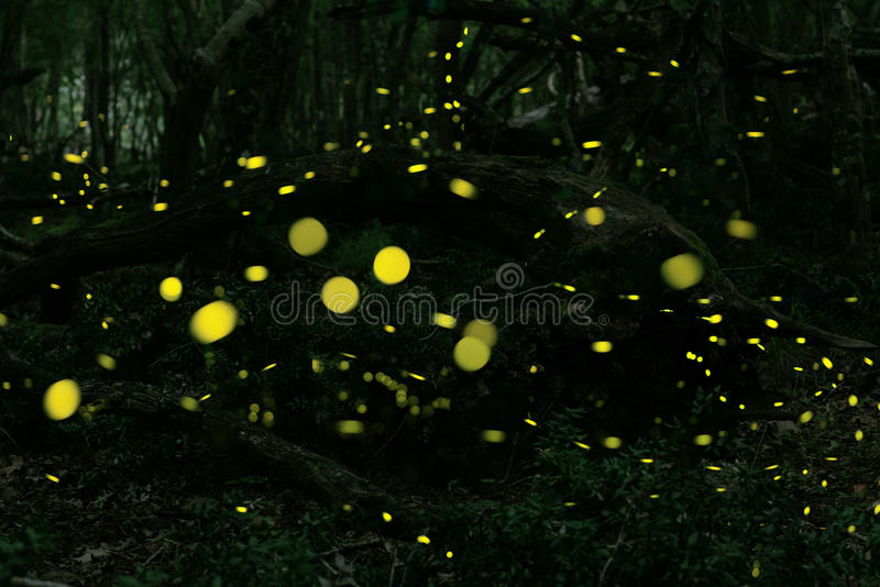 Fireflies στο δάσος κοντά στην πόλη Burgas, Βουλγαρία στοκ φωτογραφία