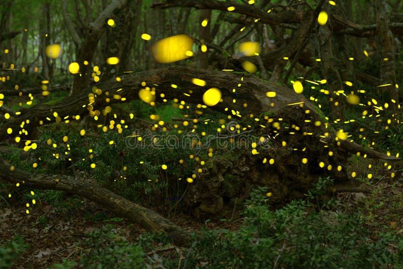 Fireflies το καλοκαίρι στο δάσος νεράιδων στοκ εικόνα