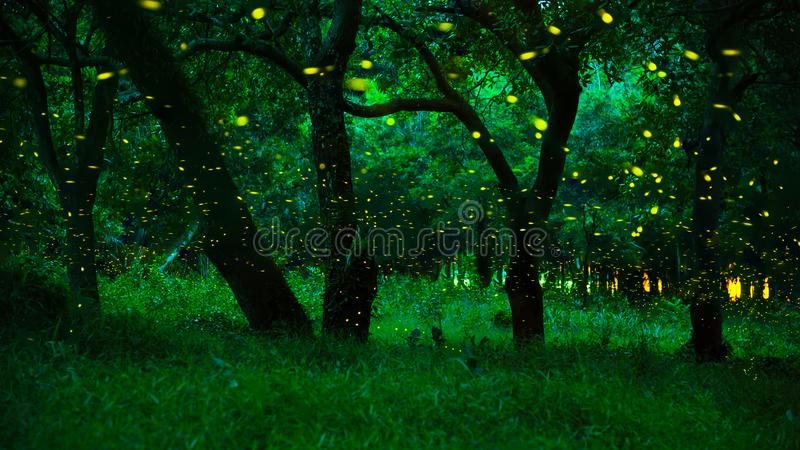 Fireflies in the bush at night at Prachinburi province, Thailand stock photos
