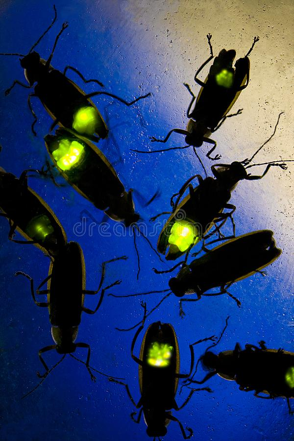 Fireflies Flashing at Night - This Beetle is also known as the Lightning Bug royalty free stock image