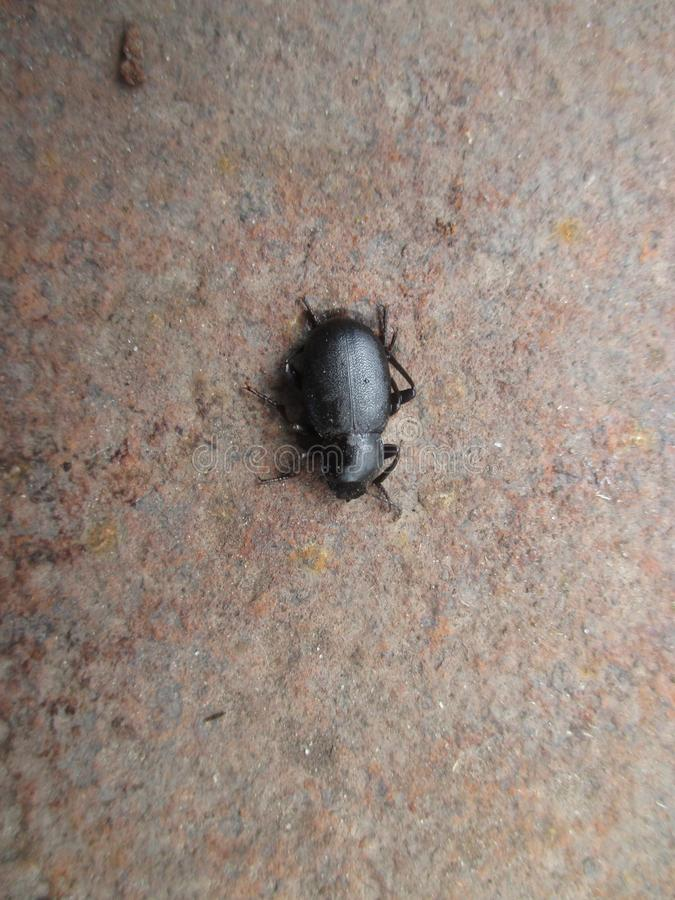 Bug of fireflies , black . It occurs in the wild . stock images