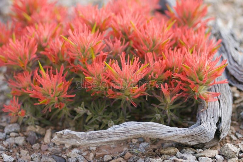 Fireflowers en la floración imágenes de archivo libres de regalías
