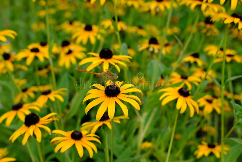 firefly imagem de stock