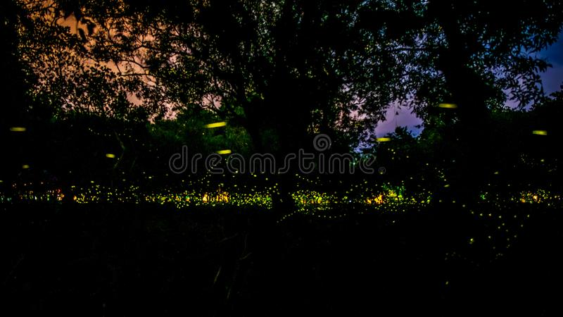 Firefly or Fireflies flying in the forest at night time in Prachinburi, Thailand. For background royalty free stock photos