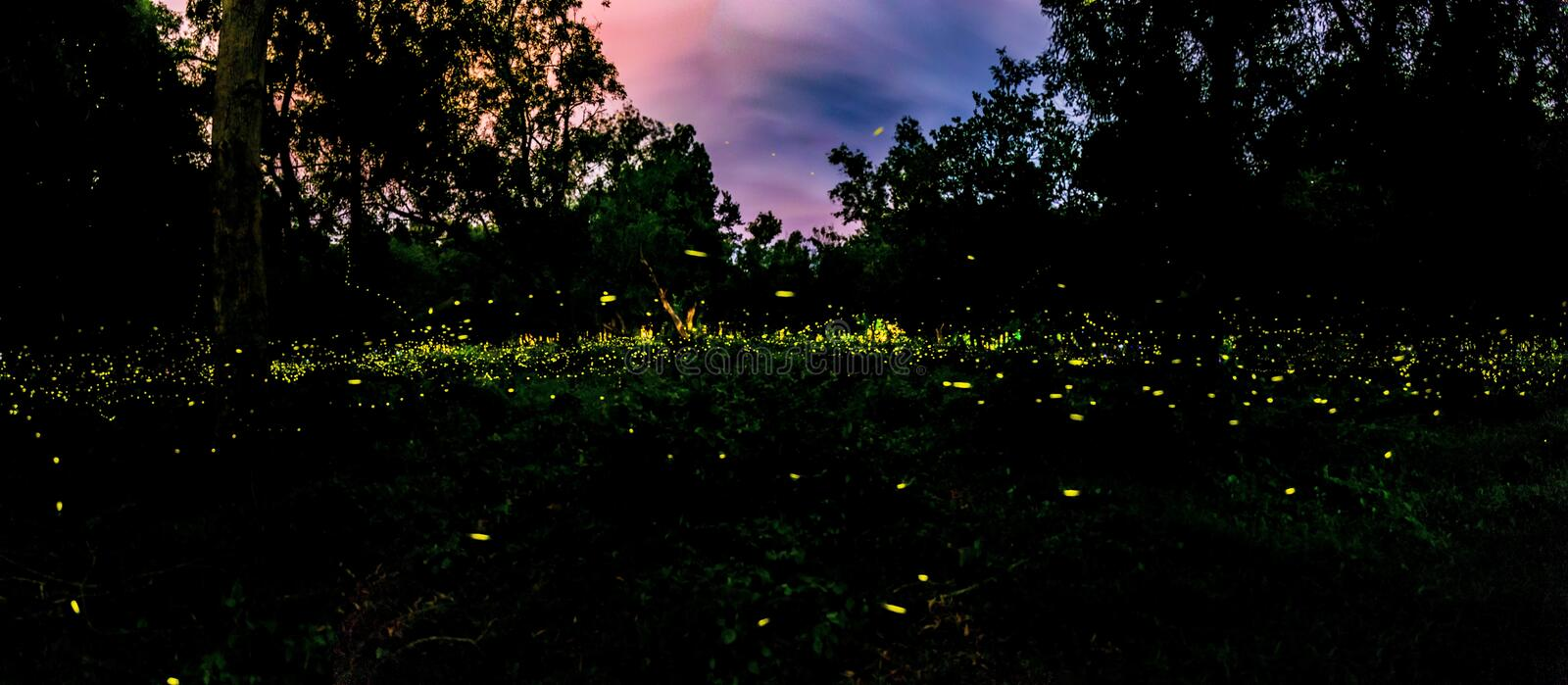 Firefly or Fireflies flying in the forest at night time in Prachinburi, Thailand. For background royalty free stock photo