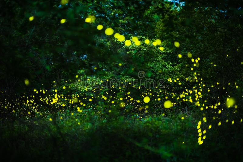 Firefly flying in the night forest stock photos