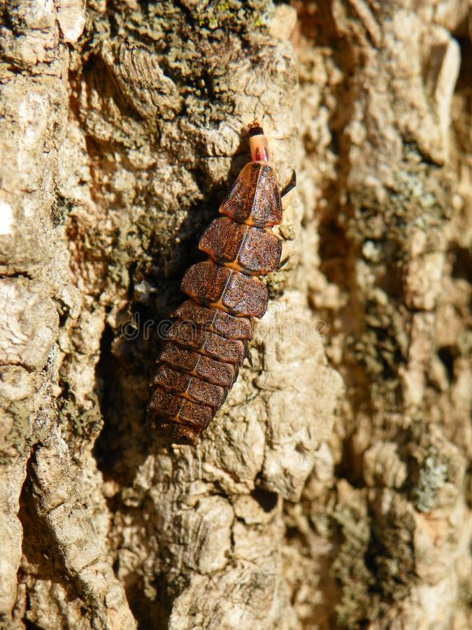 Firefly larva, or glow worm, crawling on tree bark. Pyractomena larva from Firefly. Flat, long, brown segmented insect that glows at night to attract a mate royalty free stock image