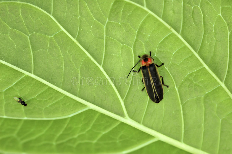 Download Firefly on a Leaf. stock image. Image of veins, texture - 1748427