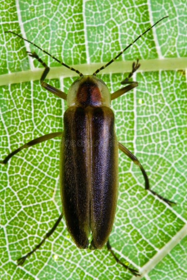 Firefly - Lightning Bug on Leaf royalty free stock image