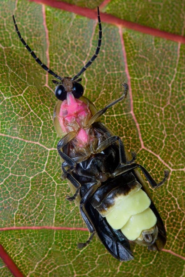 Firefly - Lightning Bug on Leaf stock image