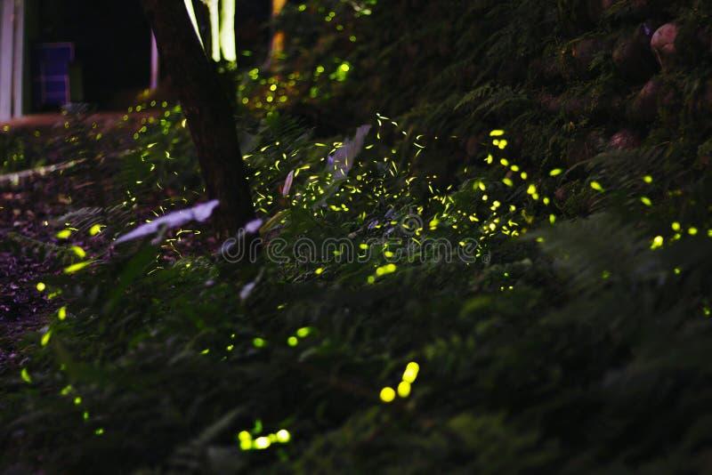 Fireflys стоковые фото