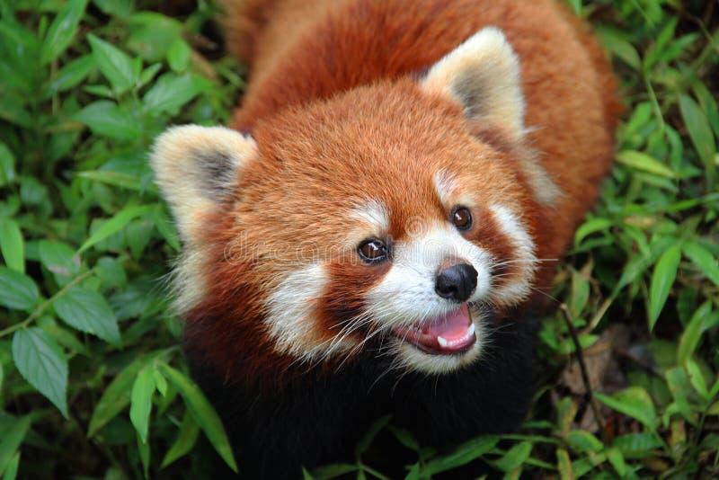 Firefox, der rote Panda in Chengdu, China stockfoto