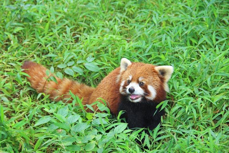 Firefox, la panda roja en Chengdu, China imágenes de archivo libres de regalías