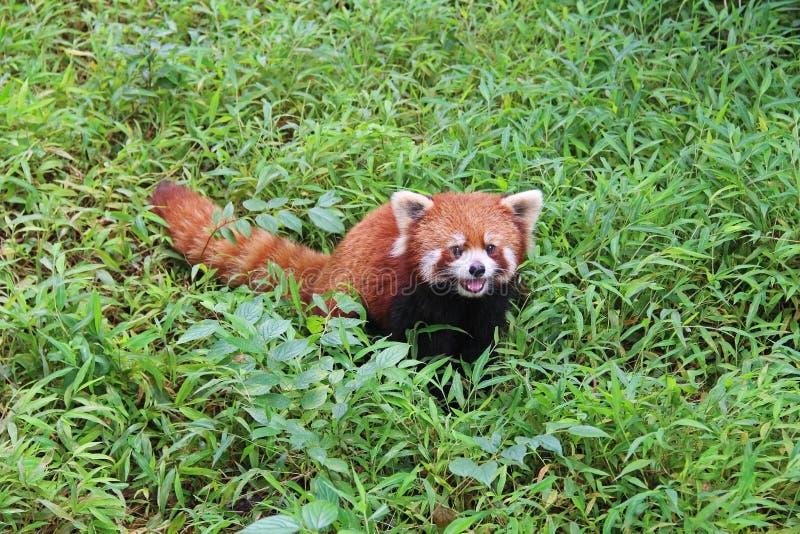 Firefox, la panda roja en Chengdu, China fotos de archivo