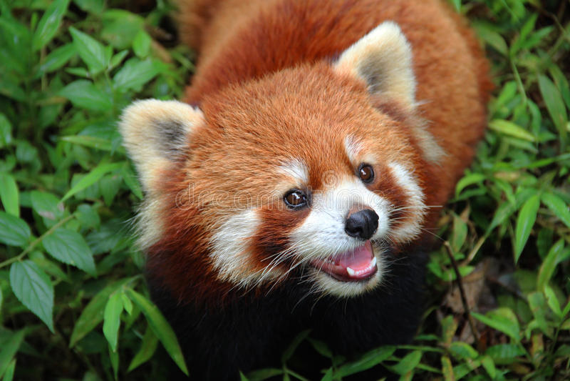 Firefox, la panda roja en Chengdu, China foto de archivo