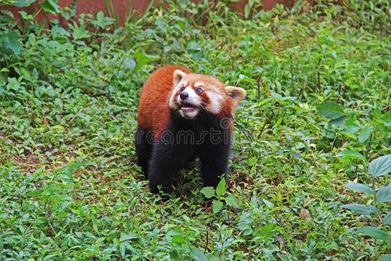 Firefox, la panda roja en Chengdu, China fotografía de archivo