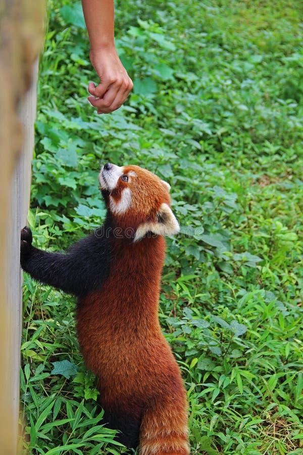 Firefox, la panda roja en Chengdu, China fotos de archivo libres de regalías