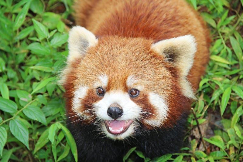 Firefox, la panda roja en Chengdu, China imagen de archivo