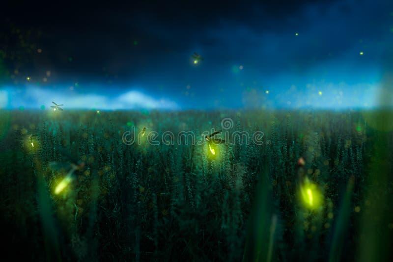 Firegly em um campo de grama na noite imagens de stock royalty free