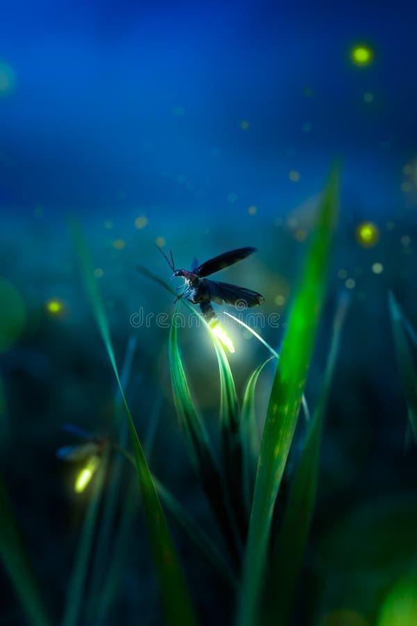 Firegly en un campo de hierba en la noche imagen de archivo