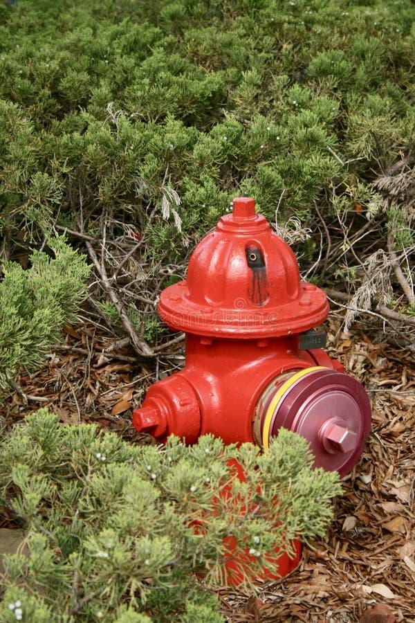 Firehydrant rosso che si siede all'interno dei cespugli e circondato con pacciame con la versione 2 di un †viola del cappuccio  immagini stock libere da diritti