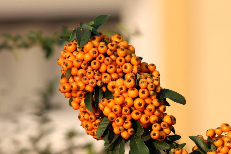 Firethorn或火棘棘手的常青灌木植物用在束的橙色莓果围拢与被种植的深绿叶子 免版税库存照片
