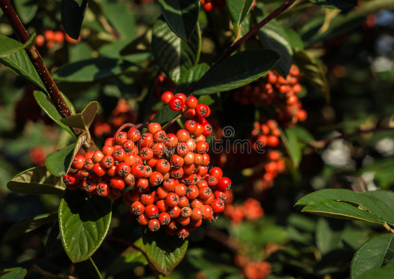 Download Firethorn Pyracantha Berries Stock Photo - Image: 39886808
