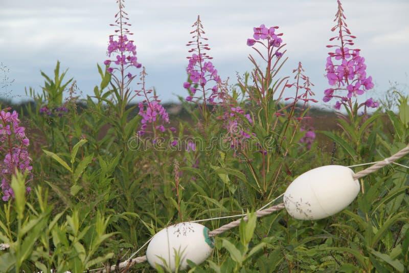 Fireweed Аляски стоковые фотографии rf
