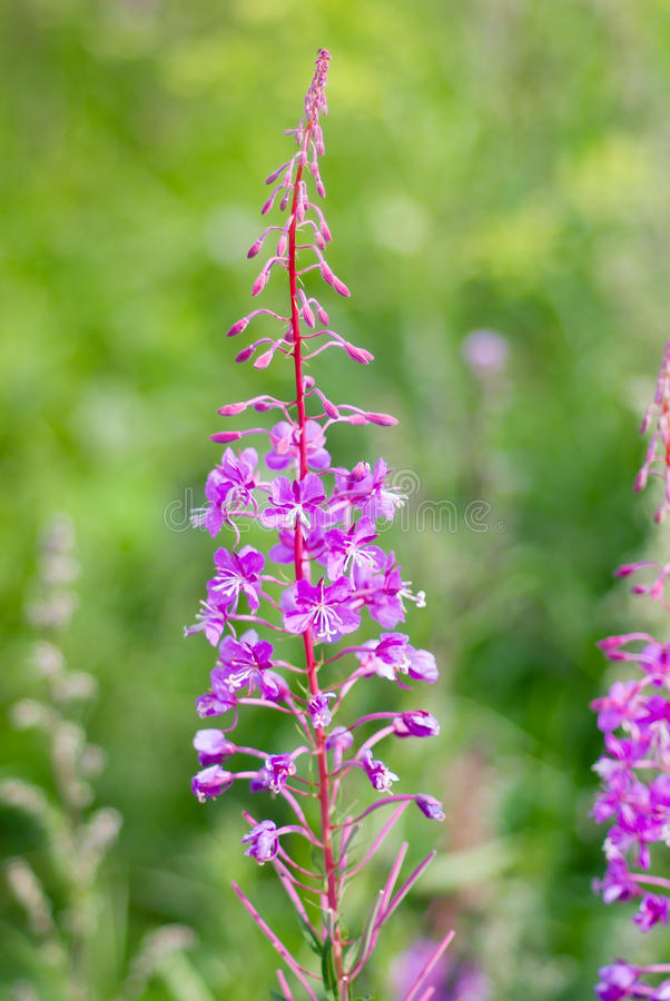 Fireweed. (Angustifolium del Epilobium); fotografia stock libera da diritti