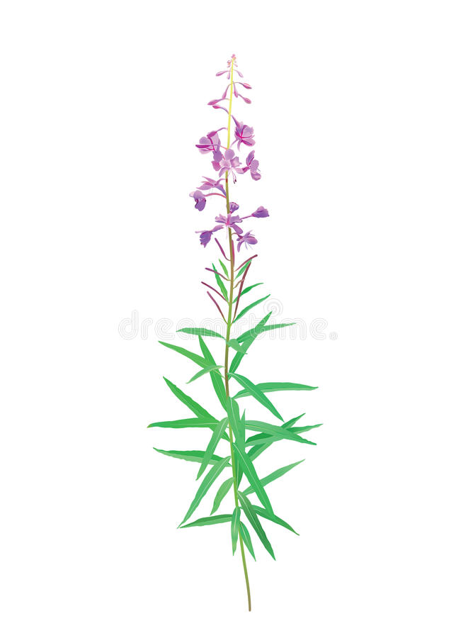 Fireweed blossom (Chamerion angustifolium) royalty free illustration