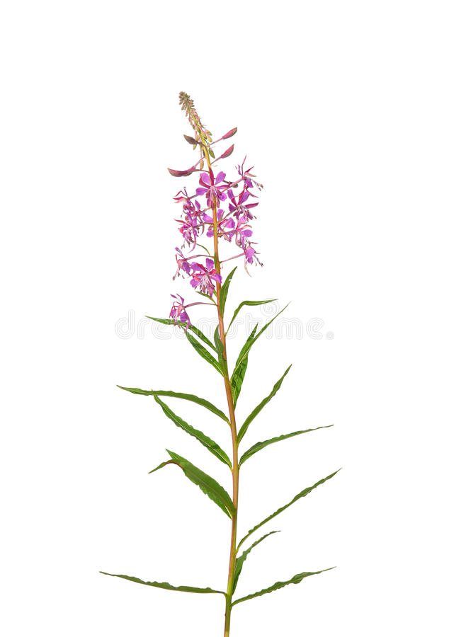 Free Fireweed (Epilobium Angustifolium) Stock Images - 48606864