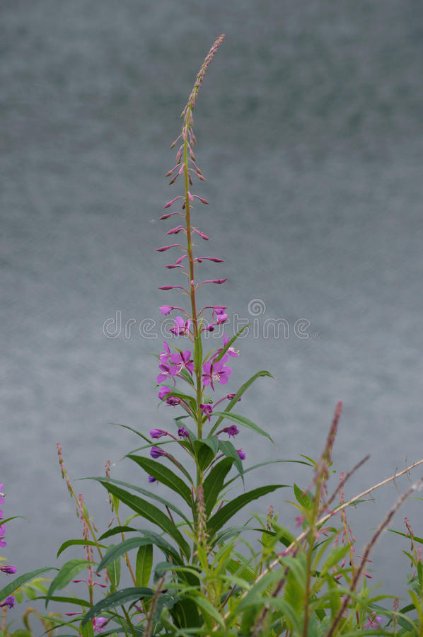 Download Fireweed (Epilobium Angust) Stock Image - Image of common, fire: 32162699