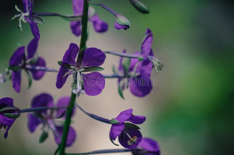Fireweed Flowers stock photography