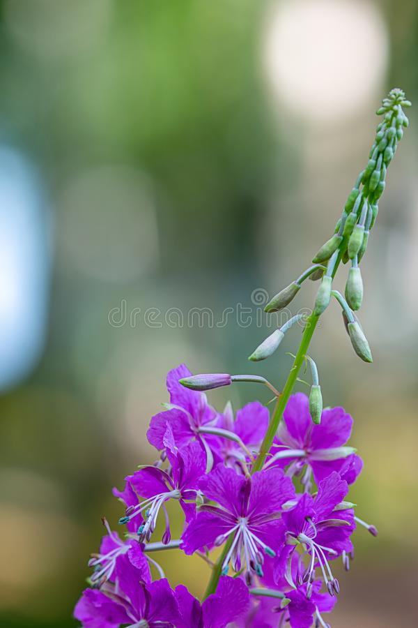 Fireweed, great willowherb or rosebay willowherb. Chamaenerion angustifolium royalty free stock images